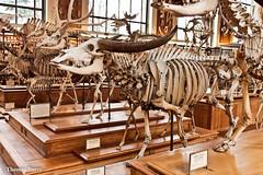 Buffle arni (tautaudu02) Tags: buffle arni buffalo musée museum histoire naturelle paléontologie anatomie paris natural history paleotonlogy anatomy