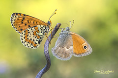 Lightness... (Samuele81) Tags: lightness melitaea farfalla fotografia fotografianaturalistica farfalle foto flight freedom fly natura nikon nature ngc nikonnaturephotography natur butterfly tamron 90mm f16