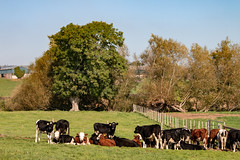 The Youth Club (Keith in Exeter) Tags: livestock cattle cow farm animal herd field grass fence stantondrew somerset landscape tree