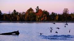 Early morning flight (joanneclifford) Tags: mooneys bay rideau river ottawa fall colours autumn ducks flight first light sunrise beach mooneysbay rideauriver ontario fujifilmxt20 xf1855 dawn