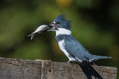 DSC_7217 kingfisher (eyegoo) Tags: kingfisher beltedkingfisher