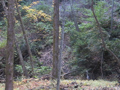 Heron In A Quiet Corner (amyboemig) Tags: october fall autumn trees foliage greatblueheron gbh heron immature steam