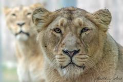 Löwin (Matthes S.) Tags: fantasticnature groskatze kamera katzenartige löwe natur pantheraleo raubtier sonydscrx10m3 säugetier tier zoo zooparctregomeur greatphotographers lion