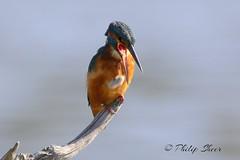 Kingfisher (Male) regurgitating pellet at Warnham Nature Reserve. (philsheer) Tags: kingfisher warnhamnaturereserve
