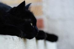 DSC_4011 (jemiseg) Tags: chat reglisse black cat