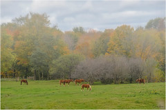 Work Horses (Summerside90) Tags: amish farm horses october fall nature wildlife oxfordcounty ontario canada