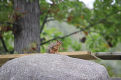 Squirrels & Chipmunks at Pictures From Natalie and Frank's Wedding (October 19, 2018) (cseeman) Tags: wedding howell michigan waldenwoods waldenwoodsresortconferencecenter lakewalden lakewaldenmichigan waldenwoodsresort wedding2018 natalieandfrank nataliefrank2018 family celebration dancing party dressy gowns suits marriage ceremony outdoorwedding autumnwedding waldenwoodswedding weddingsquirrels squirrels animals wildlife chipmunks