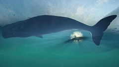 Aquatic Life (nicksoptima) Tags: whale shark sea ps4 ubisoft assassins creed odyssey screenshot