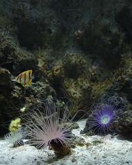 _IMG2253f_DxO (bertrand.garrigou) Tags: fish submarine sea poisson corail pentax pentaxart k3