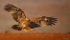 Tawny Eagle - Aquila rapax -9024 (Theo Locher) Tags: tawnyeagle vogels roofarend aquilarapax zimanga zimangagamereserve mkuze zuidafrika southafrica birds oiseaux vögel copyrighttheolocher