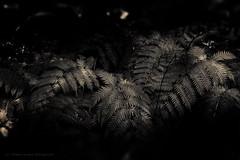 Shaded Ferns (ThisIsMorgan) Tags: fern ferns flora huntington sepia monochrome gardens fujifilm xt2