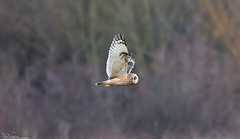 Short-Eared Owl  Hunting (Steve (Hooky) Waddingham) Tags: animal countryside bird british nature flight wild wildlife prey owl mice voles