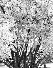 Fall Fireworks (BHuij) Tags: 2 4x5 5 5d 5d2 autumn bw black camera canon d dark darkroom dslr fall fb field film filter format gelatin ii ilford intrepid large leaf leaves mark matte mk mkii monochrome multigrade photography print room sheet silver view wet white yellow