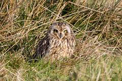 Short Eared Owl (Simon Stobart - Back But Way Behind) Tags: short eared owl asio flammeus ground north east england uk ngc npc