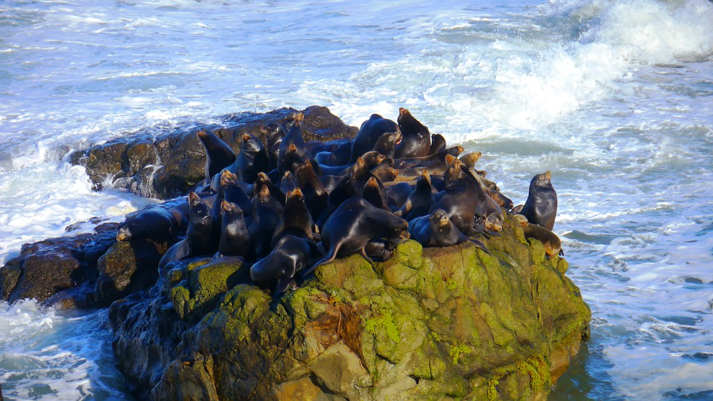Sea lions resting offshore from Cape Arago State Park