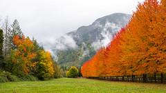 Fall in the Pacific Northwest (s.d.sea) Tags: fall autumn pnw pacificnorthwest washington washingtonstate pentax k5iis orange foliage snoqualmie trees nature driveway mt si landscape