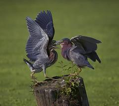 """""""Bottoms Up""""-7843 (jontuelawrel (Bernadette Marie)) Tags: greenheron bird birds nature wildlife juvenilegreenheron"""