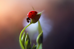 Sunset (ElenAndreeva) Tags: macro sunset nature ledybug focus forest flower flowers sun light summer spring amazing cute sweet dream soft garden bug insect natural bokeh colors colorful red lovely beauty best top composition lights like andreeva sity
