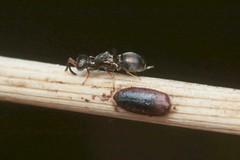 5/5 - Laying ?? - 28 IX 2018 (el.gritche) Tags: hymenoptera france 40 garden eupelmidae eupelmus vesicularis barai female laying