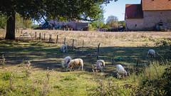 Déjeuner sur l'herbe...(bien rare) (Crilion43) Tags: arbres région sancoins feuillesfeuillage paille divers centre cher ferme herbe moutons ciel nuages barrière animaux paysages villes maison