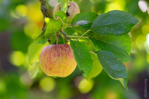 Compton Castle apple