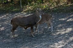 Sikahert - Sika deer (Den Batter) Tags: nikon d7200 zooparc overloon sikahert sikadeer cervusnippon