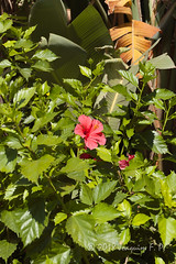 Rincón tropical (Joaquim F. P.) Tags: cultivada jardin joaquimfp portaventura flora hotelelpaso salou tarragona spain hibisco hibiscus strelitzia malvaceae ornamental flower