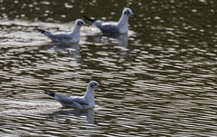 9Q6A4925 (2) (Alinbidford) Tags: alancurtis blackheadedgull brandonmarsh nature wildlife
