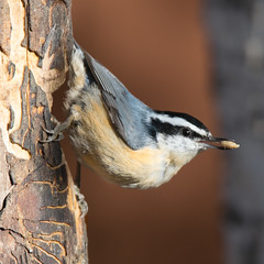Red-breasted Nuthatch Visits our Feeders (kdee64) Tags: redbreastednuthatch sittacanadensis october autumn whitehorse yukon northerncanada