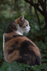 my cat friend Gracie Jo (rootcrop54) Tags: graciejo neighbor neighbors female dilute calico cat heryard neko macska kedi 猫 kočka kissa γάτα köttur kucing gatto 고양이 kaķis katė katt katze katzen kot кошка mačka gatos maček kitteh chat ネコ