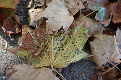 Maple leaves, speckled and brown (Monceau) Tags: maple leaves speckled brown fallen tuileries autumn