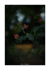 2018/9/14 - 5/15 photo by shin ikegami. - SONY ILCE‑7M2 / Lomography New Jupiter 3+ 1.5/50 L39/M (shin ikegami) Tags: macro マクロ 紫陽花 flower 花 井の頭公園 吉祥寺 summer 夏 sony ilce7m2 sonyilce7m2 a7ii 50mm lomography lomoartlens newjupiter3 tokyo sonycamera photo photographer 単焦点 iso800 ndfilter light shadow 自然 nature 玉ボケ bokeh depthoffield naturephotography art photography japan earth asia