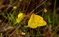 7K8A7585 (rpealit) Tags: scenery wildlife nature weldon brook management area orange sulphur butterfly