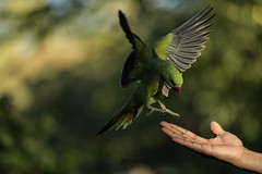 """WHERE IS IT?!"" (PChamaeleoMH) Tags: birds centrallondon feeding hands interaction london parakeet people ringneckedparakeets stjamesspark"
