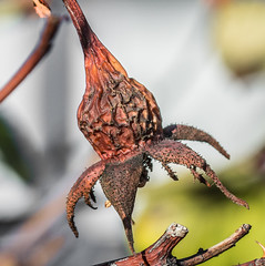Wrinkled macro. (Omygodtom) Tags: tamron90mm tamron macro d7100 wrinkled outside rose hip oregon natural 7dwf bokeh dof existinglight abstract autumn
