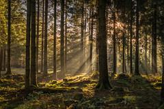 forest series #171 (Stefan A. Schmidt) Tags: warstein nordrheinwestfalen deutschland de germany sunrise goldenhour sunbeam sunbeams tree trees forest