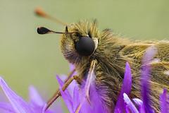 Butterfly (Helmut Wendeler aus Hanau) Tags: kornblume schmetterling butterfly macro photo stack retro adapter