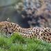 Cheetah lying behind the grass