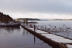 Iisalmi (Tuomo Lindfors) Tags: iisalmi finland suomi myiisalmi satama venesatama marina laituri pier lokki seagull parvi swarm flock porovesi järvi lake vesi water