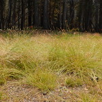 Carex leptopoda thumbnail