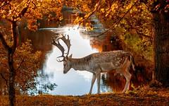 20180928-1817-46is (Don Oppedijk) Tags: bentveld noordholland nederland nl awd amsterdamsewaterleidingduinen cffaa fallowdeer damhert