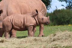 Sticking with Mum (M_squared Images) Tags: whiterhinoceros ceratotheriumsimum msm1935 cumbria lindalinfurness