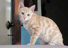 087-July'18 (Silvia Inacio) Tags: mel tabby gata gatos cat cats kitten