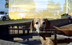 Double Exposure (analogprog) Tags: double exposure victoria bc canada analog film 35mm olympus portra dog animal