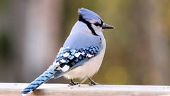 IMG_2070e (blazer8696) Tags: 2018 blja bluejay brookfield corvidae ct cyacri connecticut cyanocitta cyanocittacristata ecw obtusehill passeriformes t2018 usa unitedstates winbath blue cristata jay img2070
