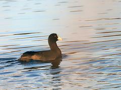 Coot. (grahamh1651) Tags: marazion longrockpool birds waterbirds swans mountsbay grebes