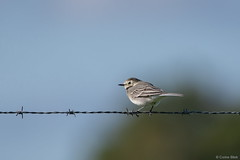 White Wagtail (Corine Bliek) Tags: bird birds vogel vogels birding nature natuur wildlife breeding kwikstaarten passerine zangvogels passeriformes songbirds oiseaux motacillaalba