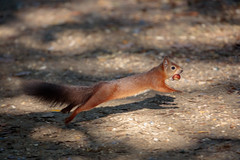 At full stretch! (Linda Martin Photography) Tags: dorset sciurusvulgaris redsquirrel uk brownseaisland nature wildlife coth naturethroughthelens alittlebeauty ngc coth5 specanimal
