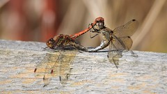 Together (doranstacey) Tags: nature wildlife insects dragonfly dragonflies mating together rspb oldmoor reserve tamron 150600mm nikon d5300 macro