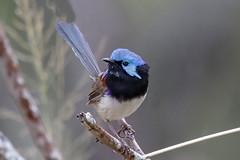 Variegated Fairywren (Alan Gutsell) Tags: variegatedfairywren variegated fairywren fairy wren brisbane queenslandbirds queensland birds alan wildlife nature canon camera